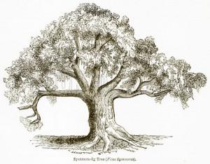 Sycamore-Fig Tree (Ficus Sycomorus)